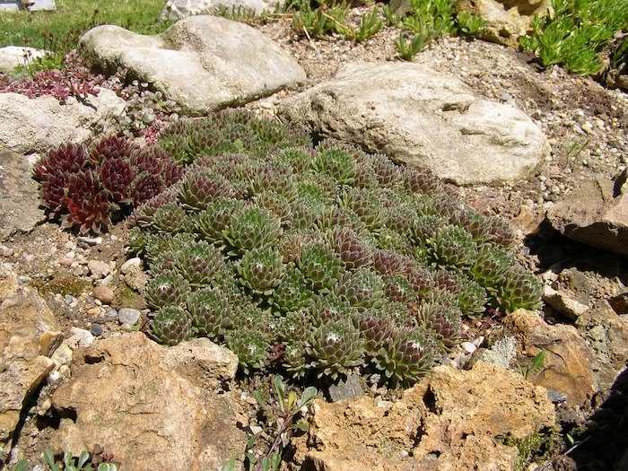 klene grüne sukkulenten pflanzen für steingarten mit kleinen steinen, gartengestaltung mit steinen ideen, gartengestaltung kleine gärten