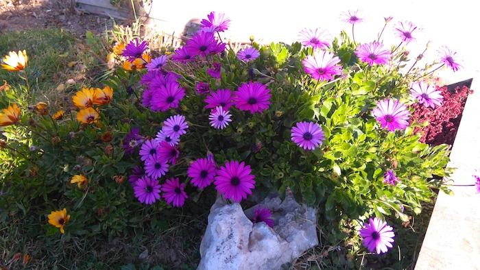 gartengestaltung bilder, einen steingarten anlegen, kleiner weißer stein mit violetten und orangen blumen und grünen blättern, steingarten deko ideen