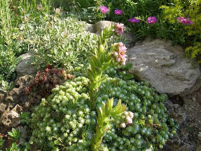 steingarten bilder mit kleinen grünen sukkulenten pflanzen für steingarten und violetten und pinken blumen und grauen steinen