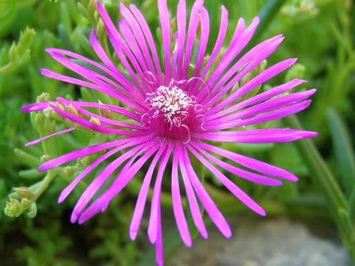 gartengestaltung kleine gärten, kleine violette blume mit grünen blättern und pflanzen für steingarten, einen steingarten anlegen ideen