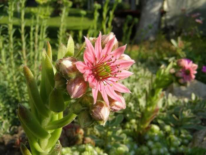pinke kleine rose mit grünen blättern und ein grüner rasen im kleinen steingarten, gartengestaltung kleine gärten