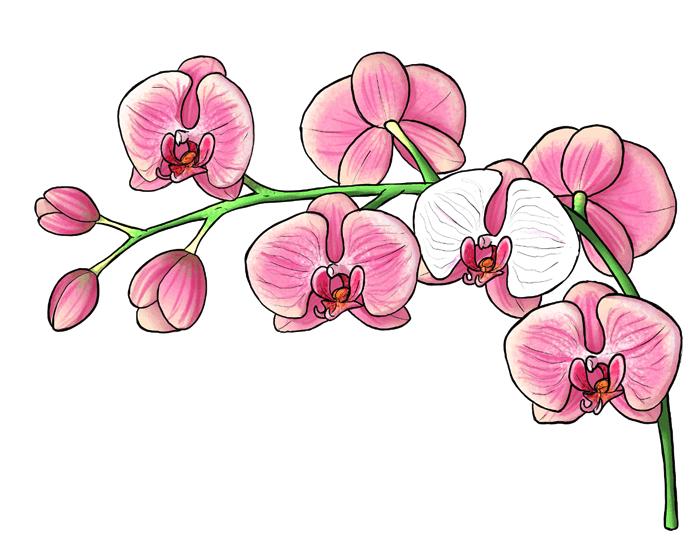 Schönes Bild zum Nachmalen, Orchidee nachmalen, mit großen rosafarbenen Blüten