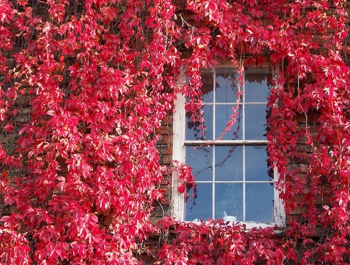 große rote wilder wein pflanzen sichtschutz mit vielen roten blättern im herbst, pflanzen als sichtschutz verwenden, haus mit einem weißen fenster