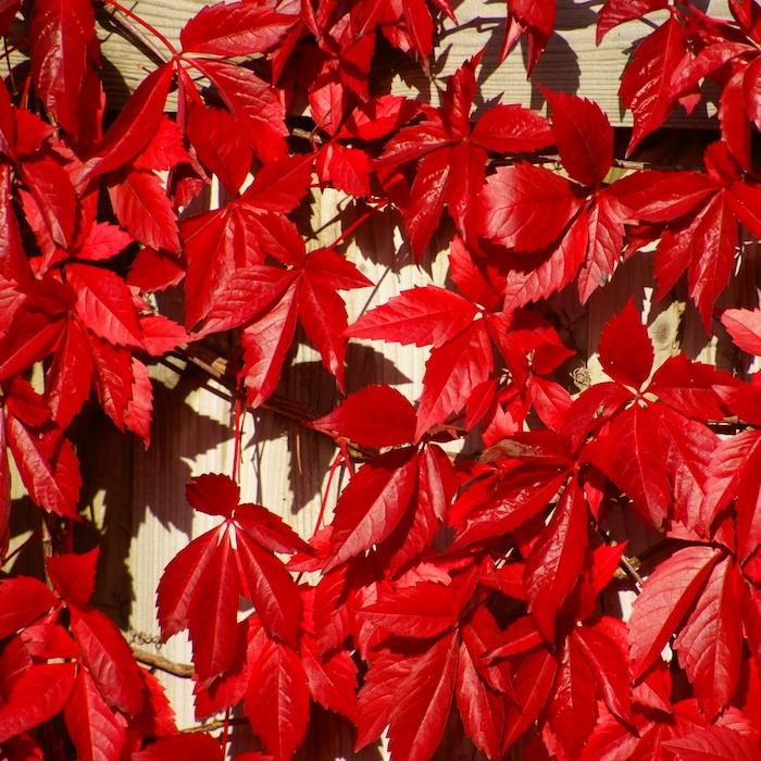 zaun aus holz und eine große rote kletterpflanze als sichtschutz im garten, wilder wein mit roten blättern im herbst
