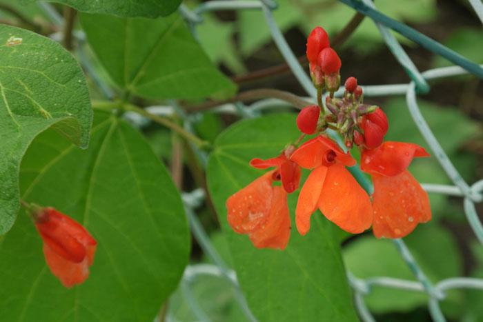 gartenzaun mit orangen feuerbohnen mit grünen blättern, pflanzen als sichtschutz verwenden