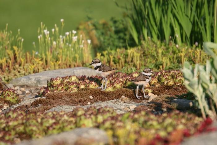 weiße blumen mit grünen blättern und kleine rote sukkulenten im steingarten mit zwei kleinen braunen vögeln