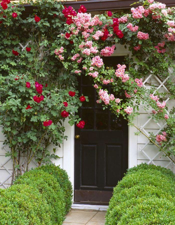 weiße wand und braune tür aus holz, vorgarten mit pinken und roten rosen mit grünen blättern, vorgarten pflanzen