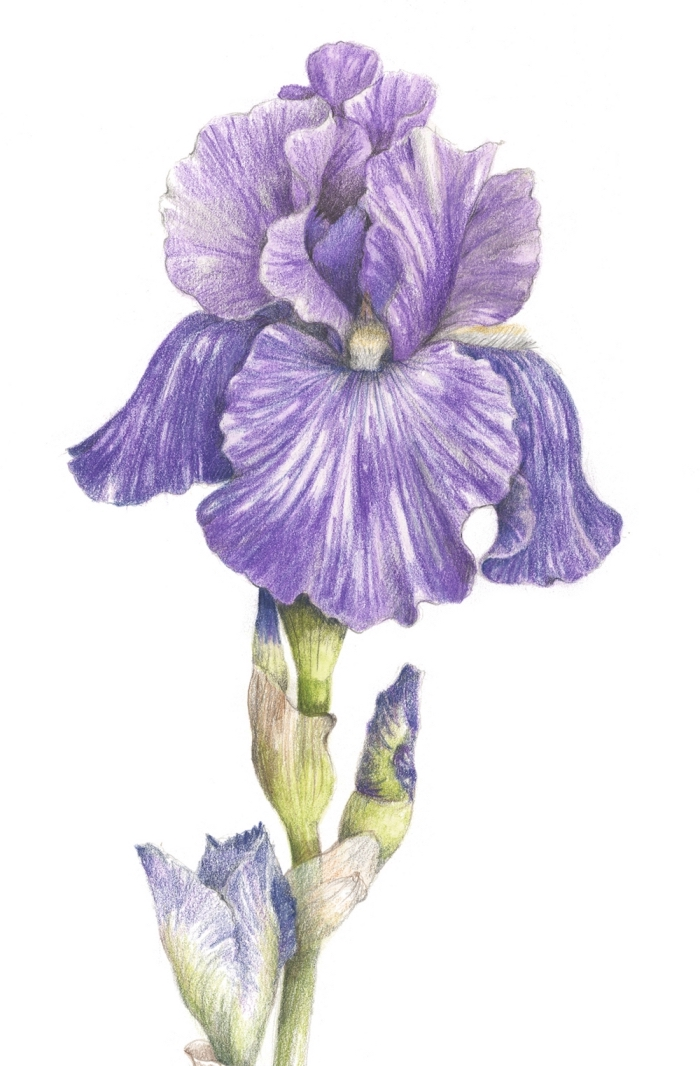 coole zeichnungen mit farbigen bleistiften, große realitische lila blume, iris hybrida