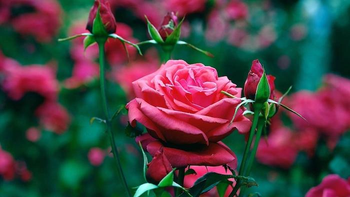 eine bulgarsche ölrose rosa damascena