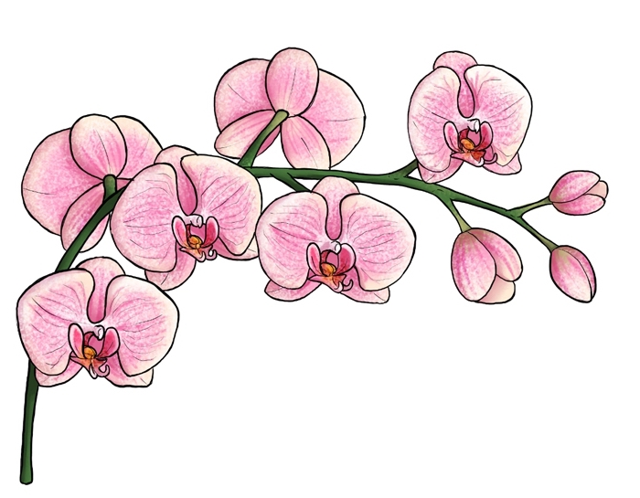 blumen zeichnen lernen, rosa orchideen, farbige zeichnung, blüten