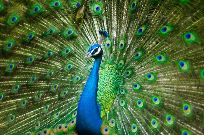 ein Pfaun, grüne Feder, blauer Körper, Bilder modern, Bilder von Vögeln, prächtige Bilder