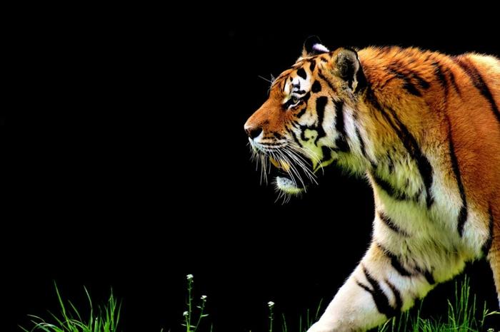 ein Tiger auf schwarzem Hintergrund, grüner Glas und weiße Blumen, Bilder modern von Tieren