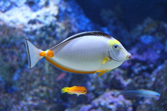 ein kleiner Fisch und ein größerer Fisch in blauem Wasser, Bilder modern von einem Aquarium