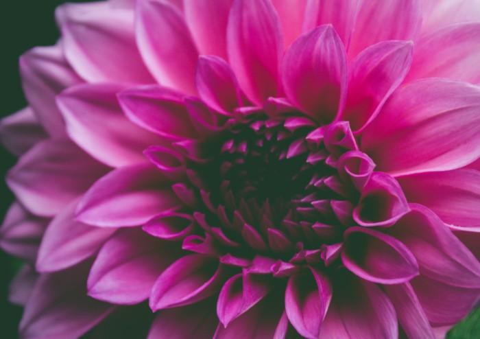 lebensblume tattoo, eine jede blume ist symbol des lebens und der schönheit, rosarote blume