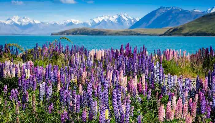 Die faszinierende Neuseelands Natur, schneebedeckte Berge, lila Blumenmeer