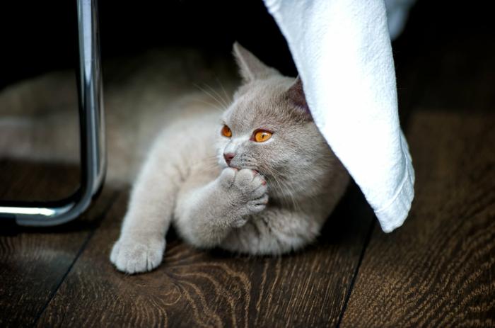 eine süße graue Katze liegt auf dem Parkett, Holz als natürlicher Baustoff
