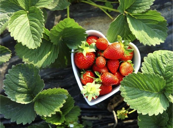 gesunde rezepte einfach zubereiten, erdbeeren in der natur, obst in einer herzförmigen schüssel