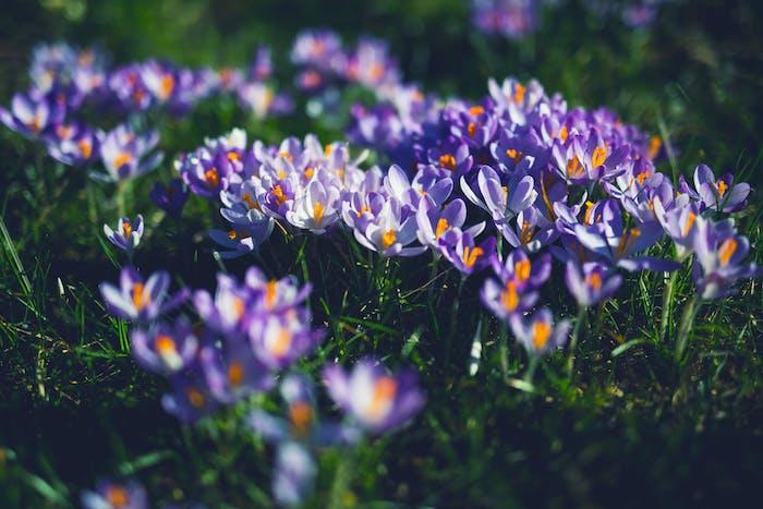 Der richtige Zeitraum für das Pflanzen der Blumenzwiebeln, lila Krokusse