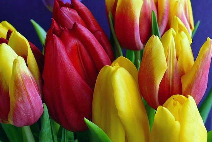 Rote und gelbe Tulpen, Blumenzwiebeln richtig anpflanzen