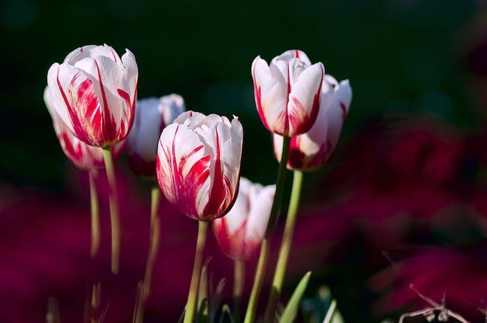 Ab September wird es Zeit für die Blumenzwiebeln, rot weiße Tulpen