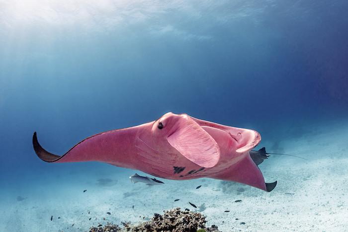der rochen Inspektor Clouseau mit einem pinken bauch, hai und ein großer pinker rochen