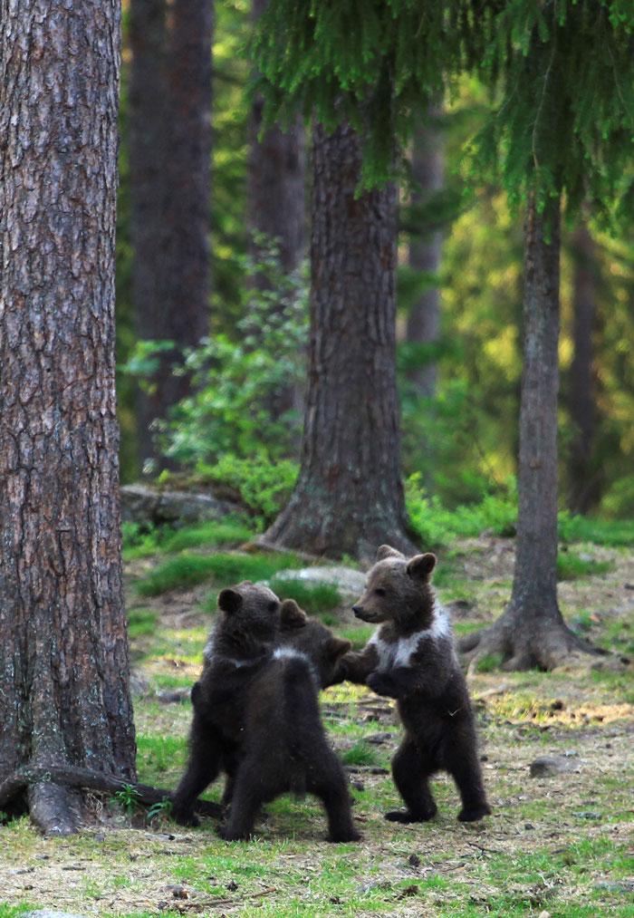 wald mit grünen böumen, drei kleine tanuende bären. der fotograf Valtteri Mulkahainen