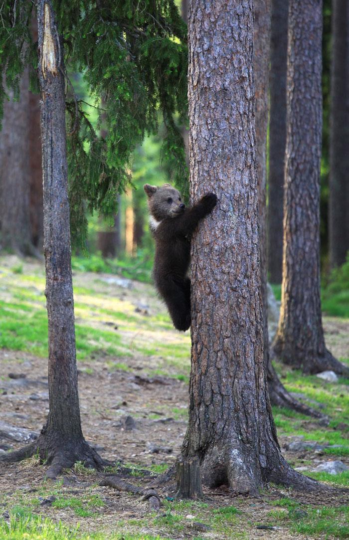 der finnische fotograf Valtteri Mulkahainen fingt drei kleine tanzende bärchen ein, wald mit bäumen, ein bär auf baum