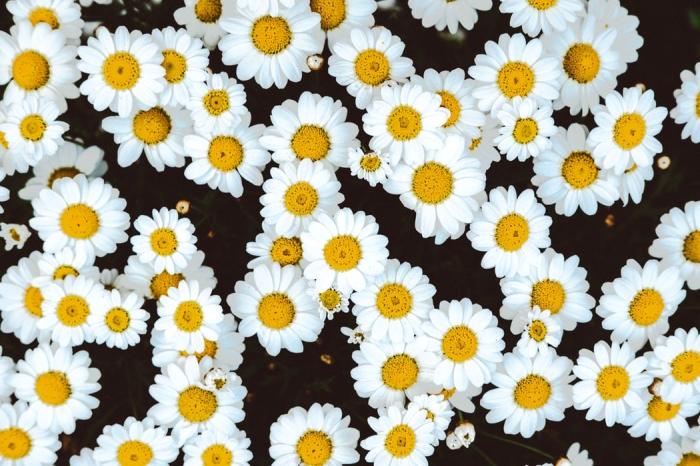 heilmittel aus der natur, naturheilmittel gegen muskelkrämpfen, kleine blüten, kamille
