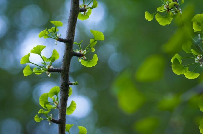 heilmittel aus der natur, gingko biloba gegen kalte füße und hände, durchblutung verbessern
