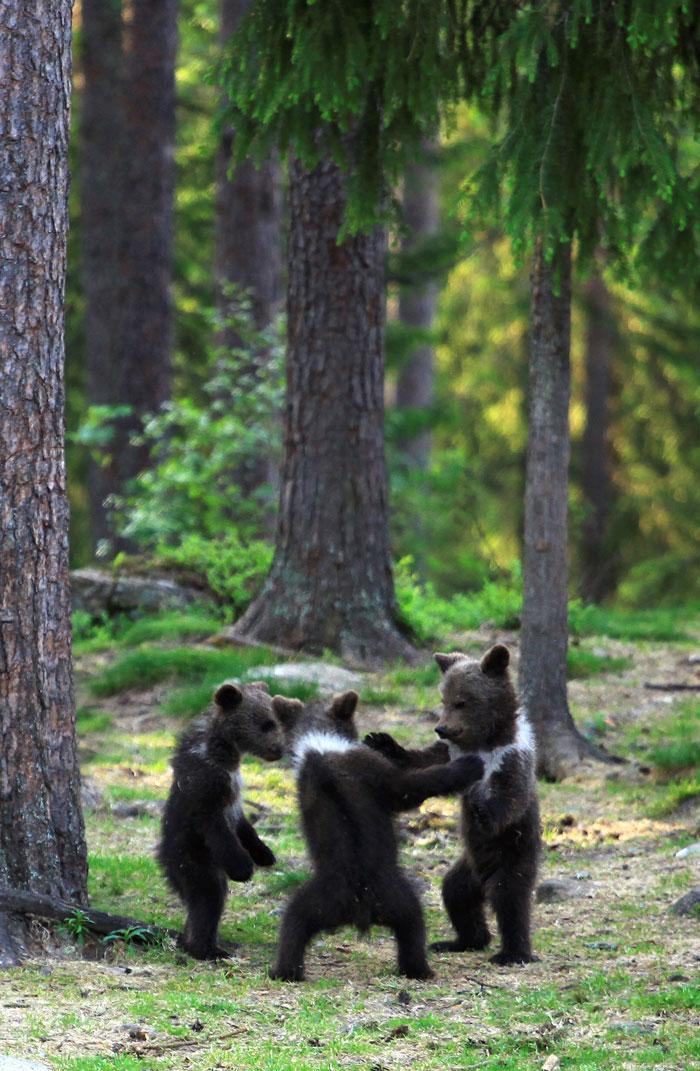 wald mit grünen bäumen, drei tanzende bärchen im wald, der finnihsche fotograf Valtteri Mulkahainen