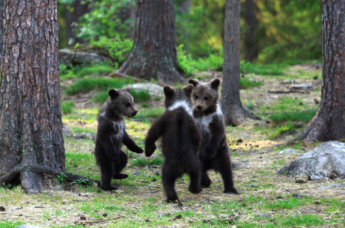 der finnische fotograf Valtteri Mulkahainen fingt drei kleine tanzende bären im wald ein