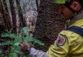 Geheime Löschaktion: Australische Feuerwehr hat die Dinosaurier-Bäume gerettet