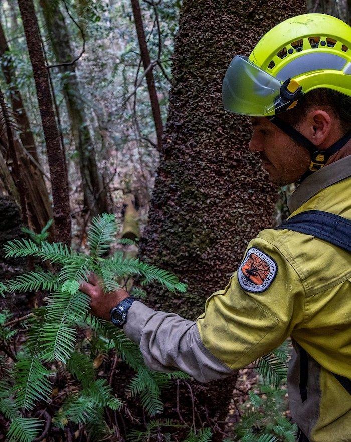ein junger Feuerwehrmann, der die letzten wilden binosaurierbäume in astralien rettet, ein wald mit immergrünen wollemien