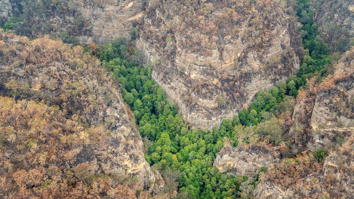ein wald mit den immergrünen wollemien dinosaurierbäumen, nationalpark wollemia in australien, eine schlucht mit wollemien