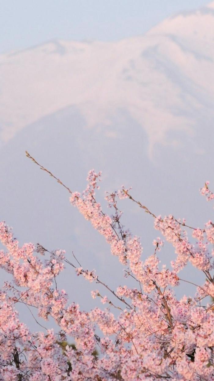 Foto vom Baum mit schönen rosa Blüten, aesthetic background, ästhetische Tapete für Handyhintergrund