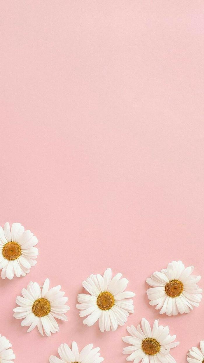 Bild von sieben Gänseblümchen am pinken Hintergrund, Hintergrund für Handys, aesthetic wallpaper hd