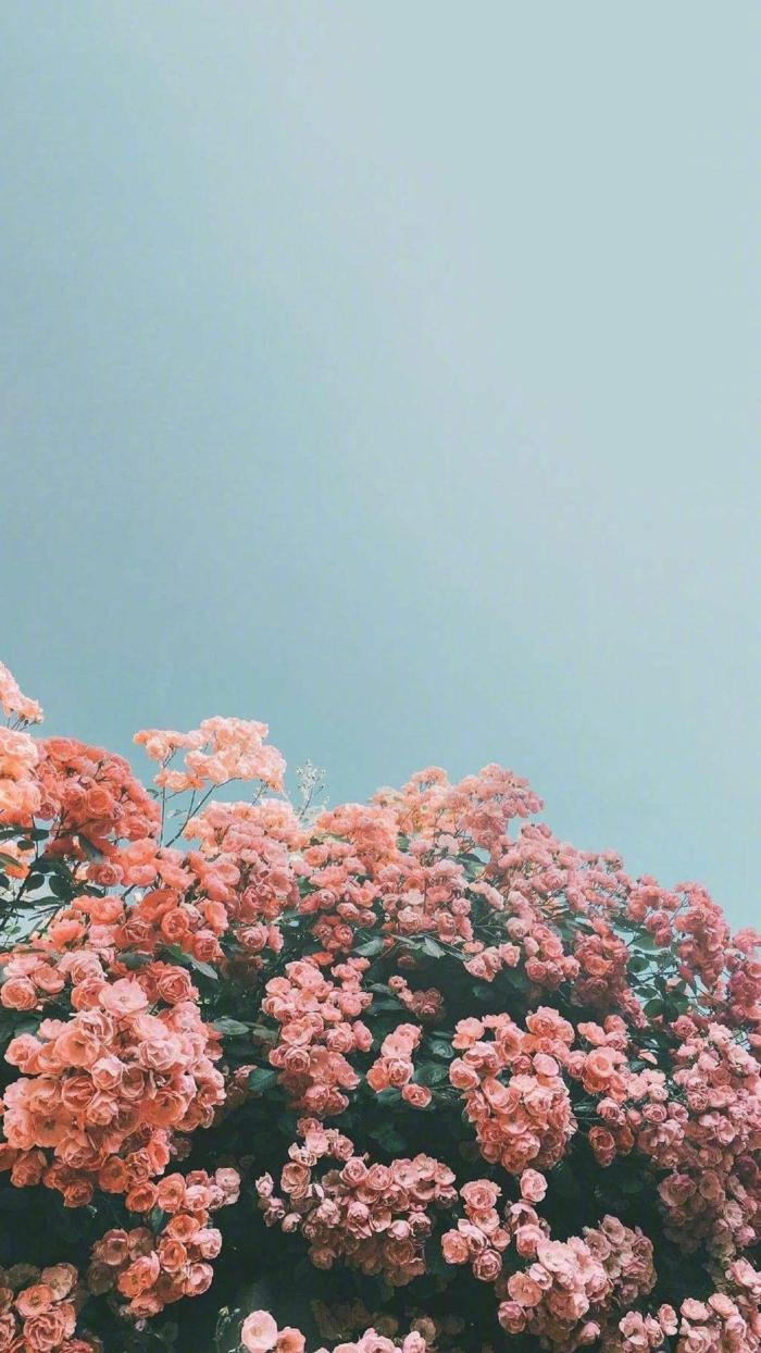 großer Baum mit kleinen pinken Rosen, blauer Himmel, aesthetic phone wallpapers, Handy Bilder