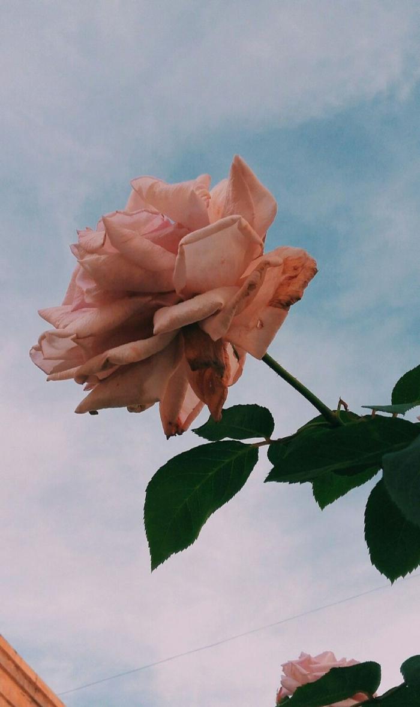Nahaufnahme von einer pinken Rosen mit grünen Blättern, aesthetic backgrounds, ästhetische Tapete für Handy