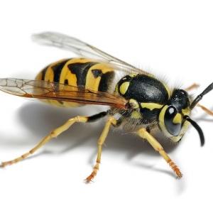 Hausmittel, mit denen man Wespen vertreiben und ein Wespennest entfernen kann!