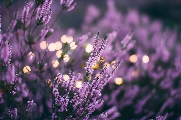ein bild mit vielen violetten lavendel pflanzen wie kann man wespen vertreiben mit ätherischen ölen