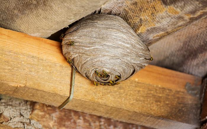 ein goßes beiges wespennest unter dem dach mit vielen kleinen gelben wespen wie kann man wespennest entfernen