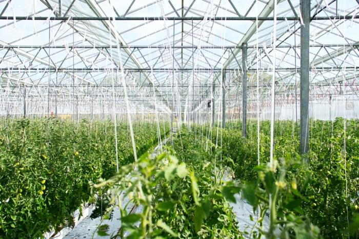 gewächshaus kaufen wamadirekt de gewächshaus aus glas kaufen grüne pflanze schutz im sommer