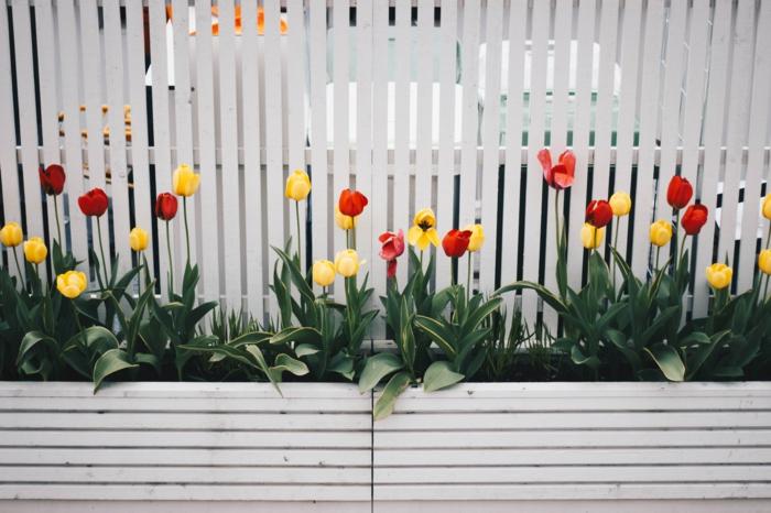 garten ideen weißer gartenzaun zaun hochbeete mit blumen gelbe und rote tulpen gartendeko