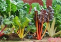 Mangold Rezepte – unsere Ideen für wohlschmeckende Speisen