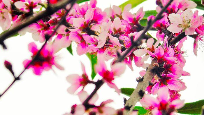 foto von karpfen blühenden rosa blumen
