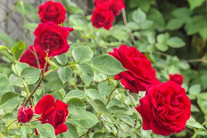 rosen richtig schneiden hilfreiche tipps gartenblumen pflege gartentipps