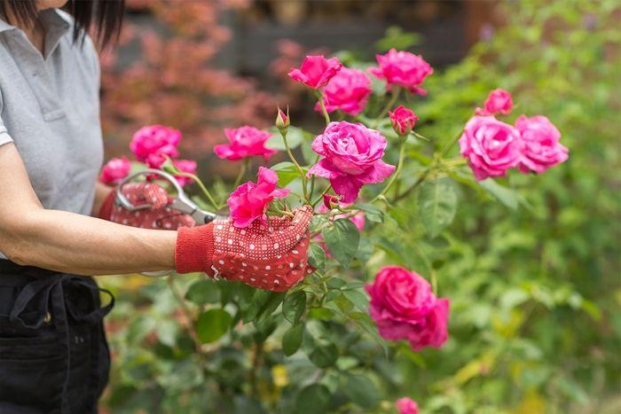 rosen richtig schneiden rosa blumen garten pflegen tipps zurrosenpflege