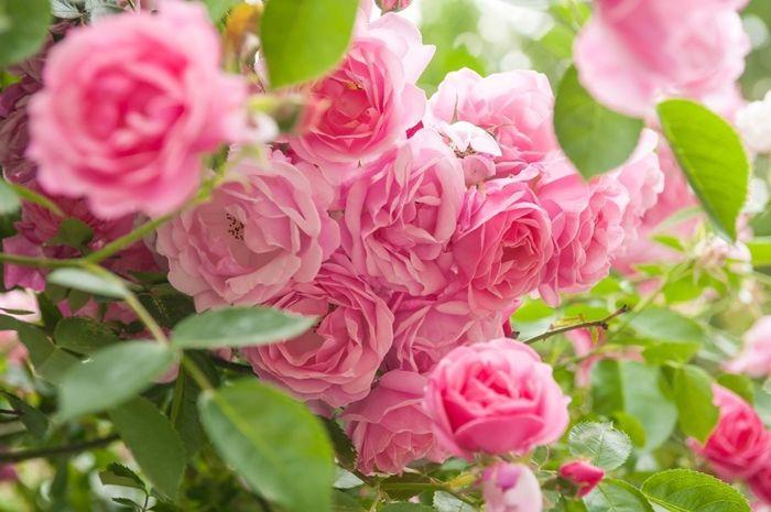 rosen richtig schneiden schritt für schritt anleitung und hilfreiche tipps