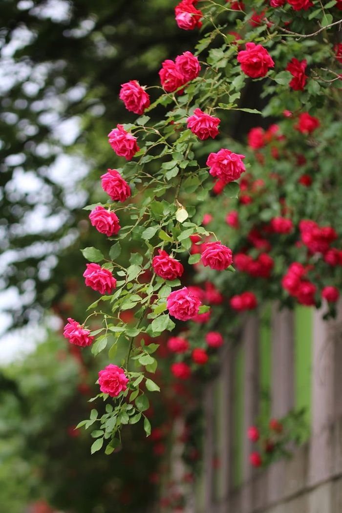 rosen richtig schneiden so geht es tipps für gärtner und hobbygärtner