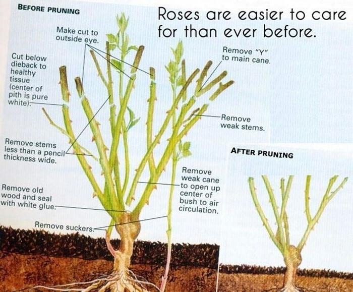 rosen richtig schneiden tipps und tricks gartenblumen für den winter vorbereiten